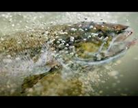 Salmon, Calor
