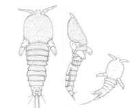Scientific descriptions of small crustaceans
