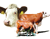Posters for cows exhibition (2006-2014)