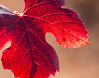 Spanish native vines