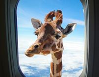 Giraffe head in the air
