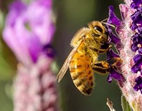 Lavender and Honey Bees