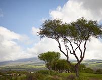 Ohi'a Trees, Maui
