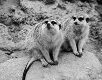 Meerkats in B&W