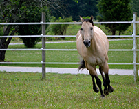 Buckskin Stallion - Photography