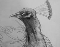 Peacock...2014