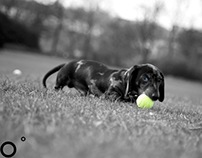 Colour Splash - Pepperoni the Silver Dapple Dachshund