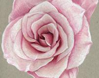 Pink Rose Sketch