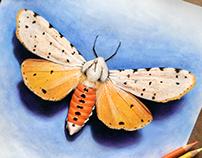 Moth Sketch, Colored Pencil/ Watercolor Base