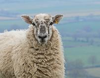 Sheepy Drank