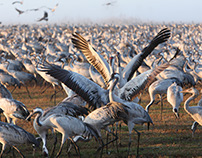 Wintering populations of Cranes in Israel