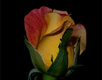 A September rose...