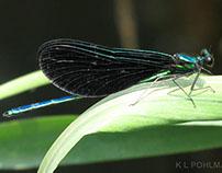 Emerald Jewelwing Damselfly