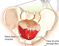 Anatomy of the Pelvic Floor in Males