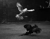 Philippine Cockfighting: B&W Documentary Photography