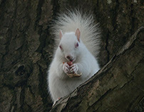 Albino Squirrel. Hastings, England.
