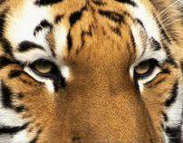 Save Tigers / WWF Ads