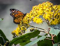 Monarchas