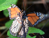 Monarch Butterfly Photo Shoot