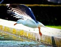 seagull from Lisbon