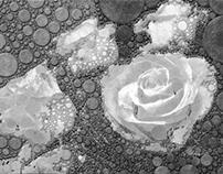 Rose 001 b&w