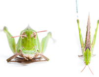 Grasshopper ~ A photo series