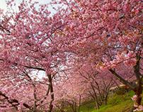 cherry-blossom / 桜