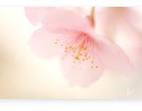 河津桜 (First bloom cherry blossoms)