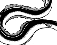 Eel / Anguila