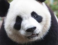 kill the panda.