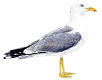 Seabird illustrations in watercolour