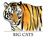 BIG CATS - scientific illustration