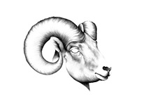 Pencil Illustration Ram Head