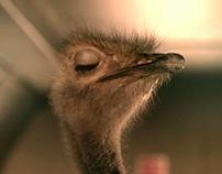 Cadburys - Ostrich