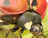 Coccinella septempunctata, 3d