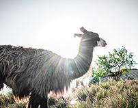 Lamas in Mediterranean area