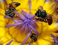 Bee Family on Water Lily