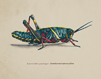 Scientific Illustration - American Grasshoppers