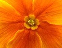 Primula Orange
