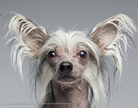 CHINESE CRESTED DOG BOW TIE / shot with Phase One P40+