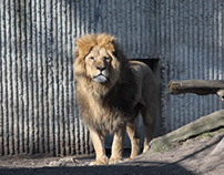 Lions in the Sun