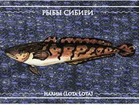 Рыбы Сибири. Налим / Fishes! from Siberia.The Burbot