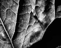 Leaf Black and White