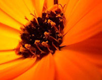 Scottish Marigold
