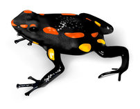 Templating for Poison-Dart Frogs Illustrations