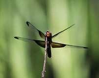 Happy Dragonflies - Photography