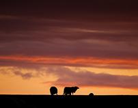 Lamb on Dinas Island