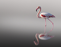Flamingo dancing
