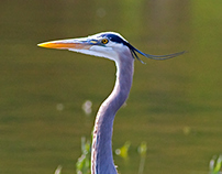 Great Blue Herons as taken on the Mississippi River