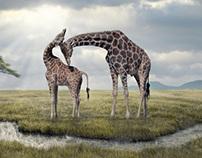 Wildlife Giraffe Composing